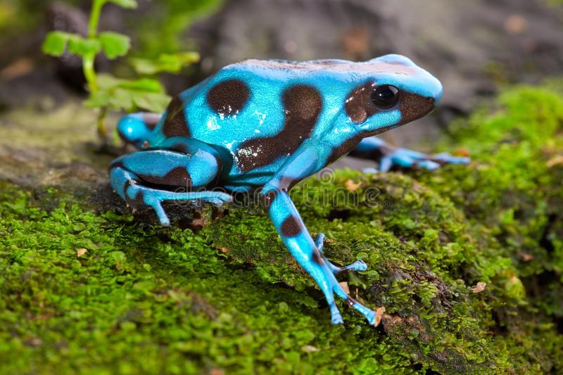 Frog ranocchia Inter
